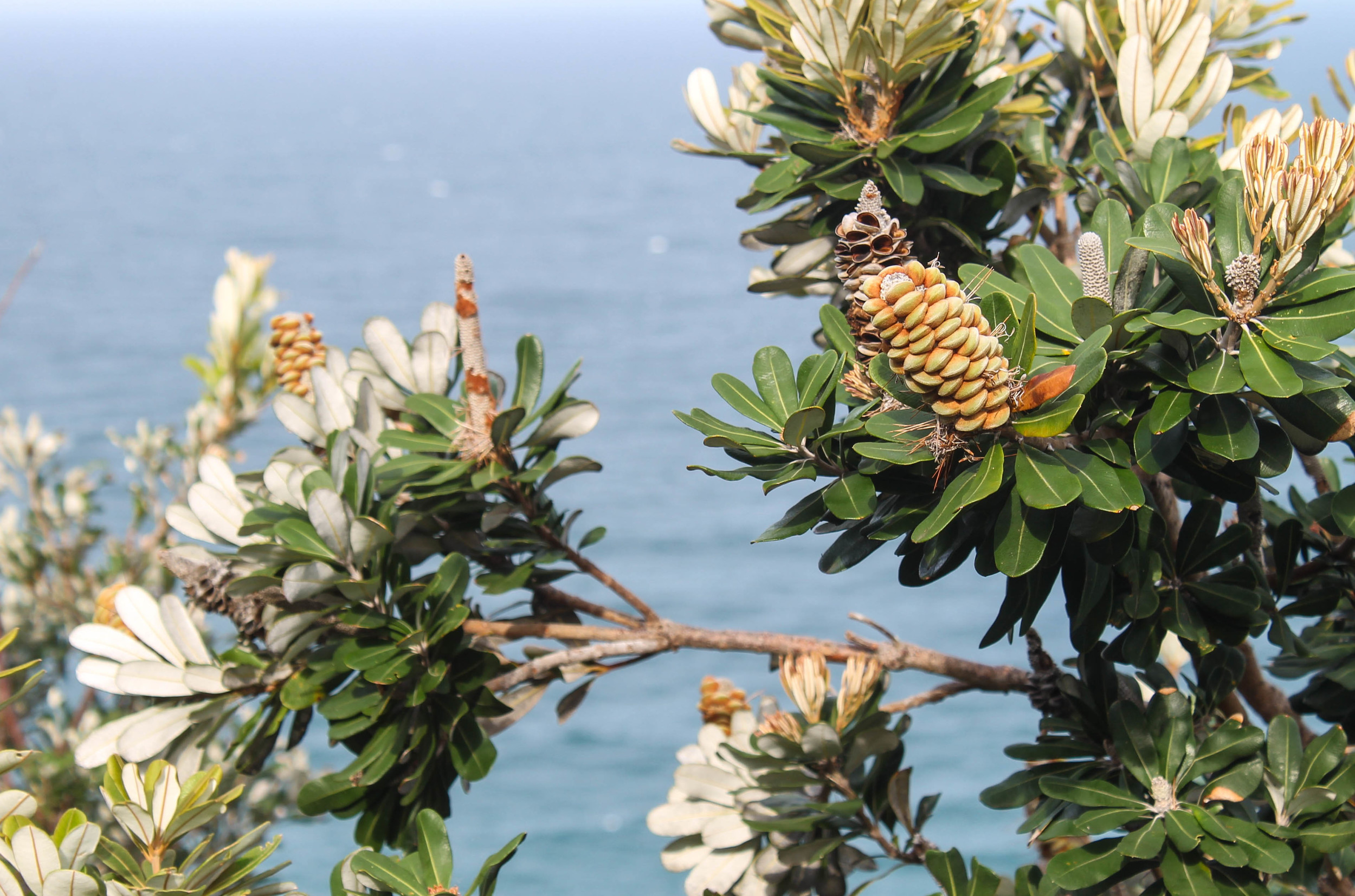 The local flora, which appears to be exotic pinecones.