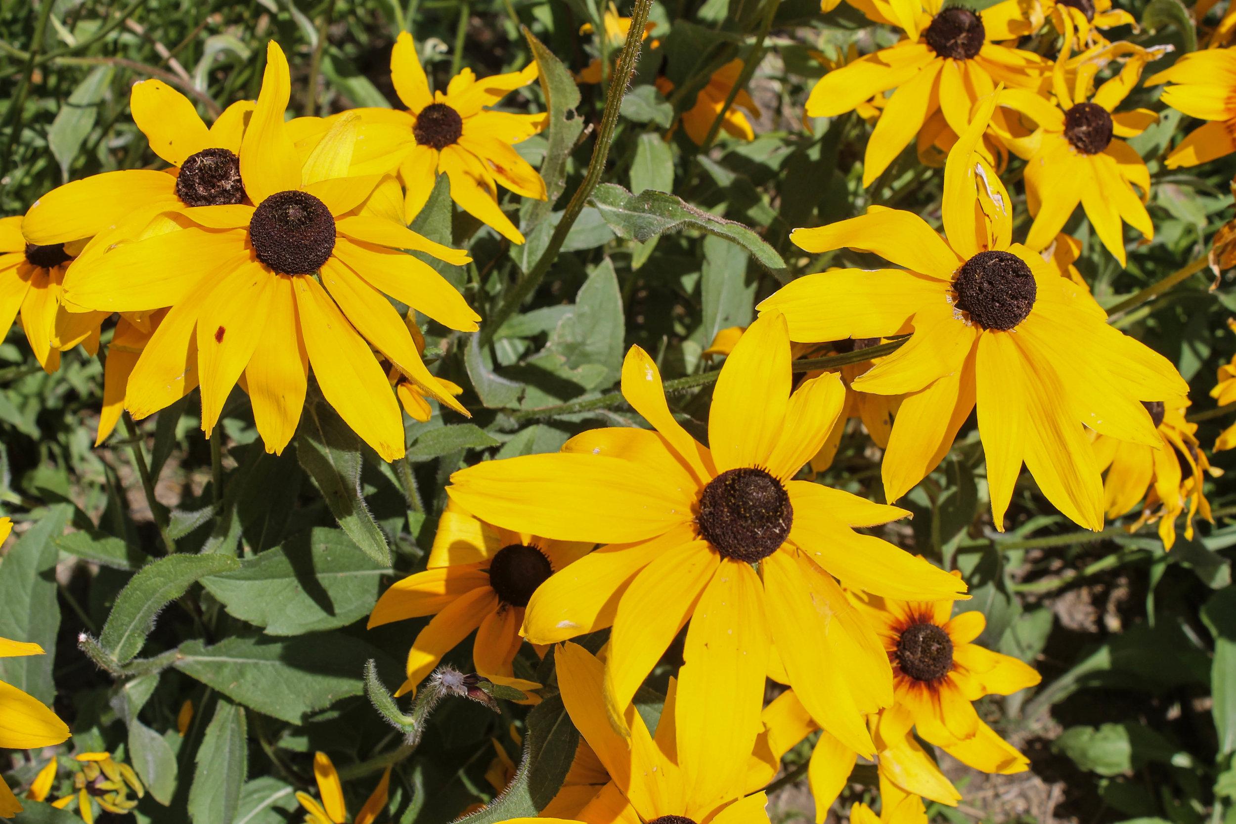 maine-flowers
