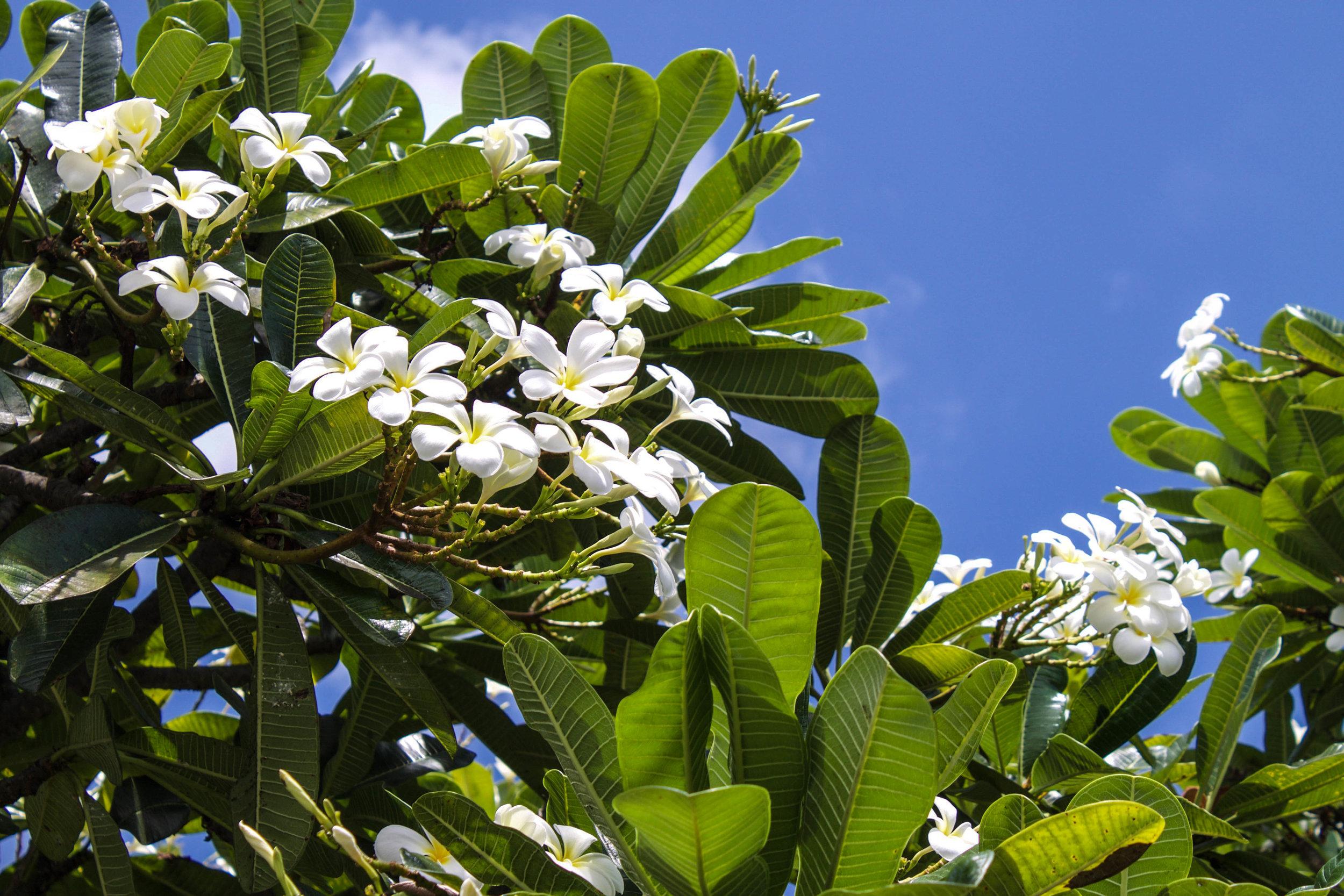 kailua-white-flower.jpg