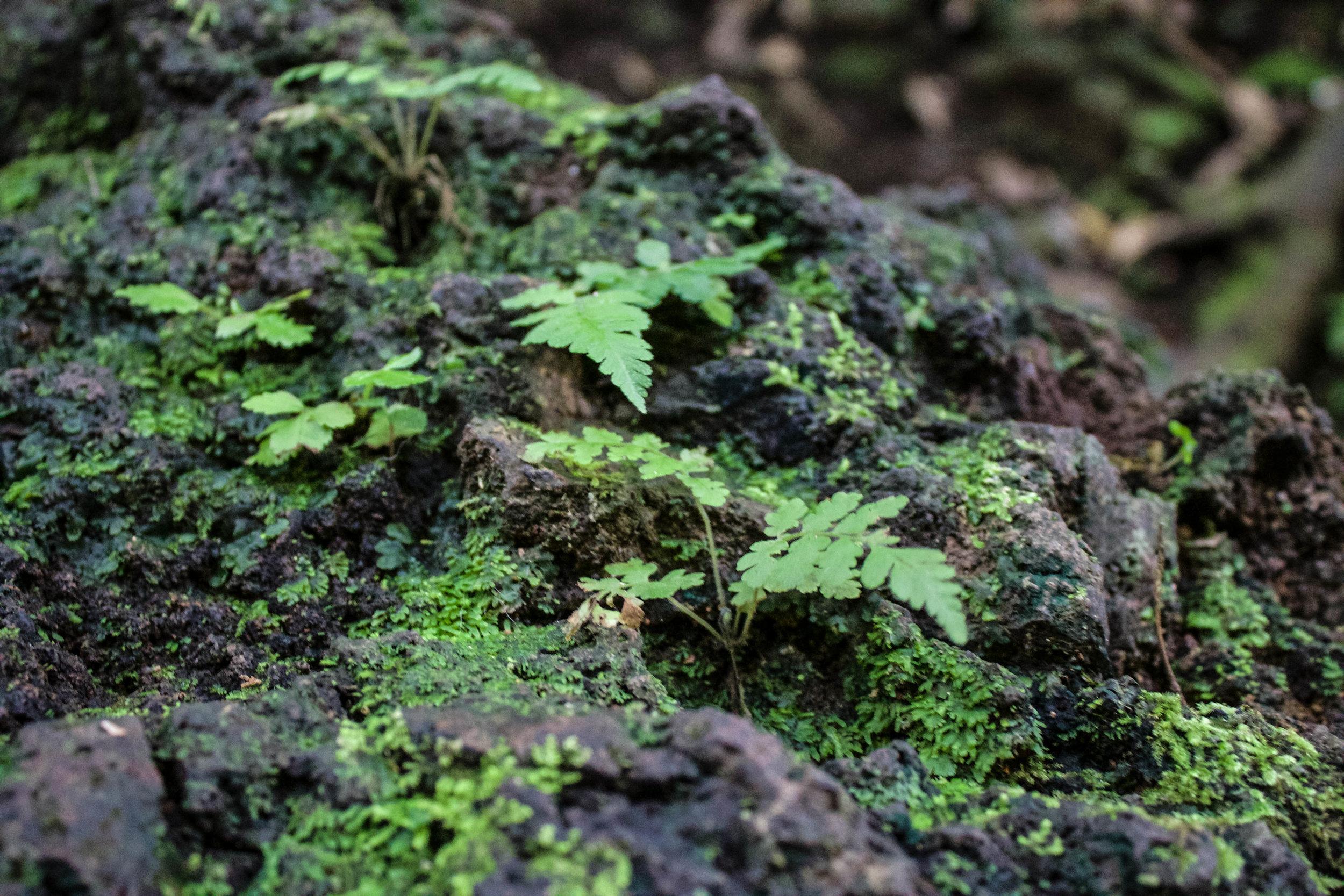 plant-manoa-falls.jpg