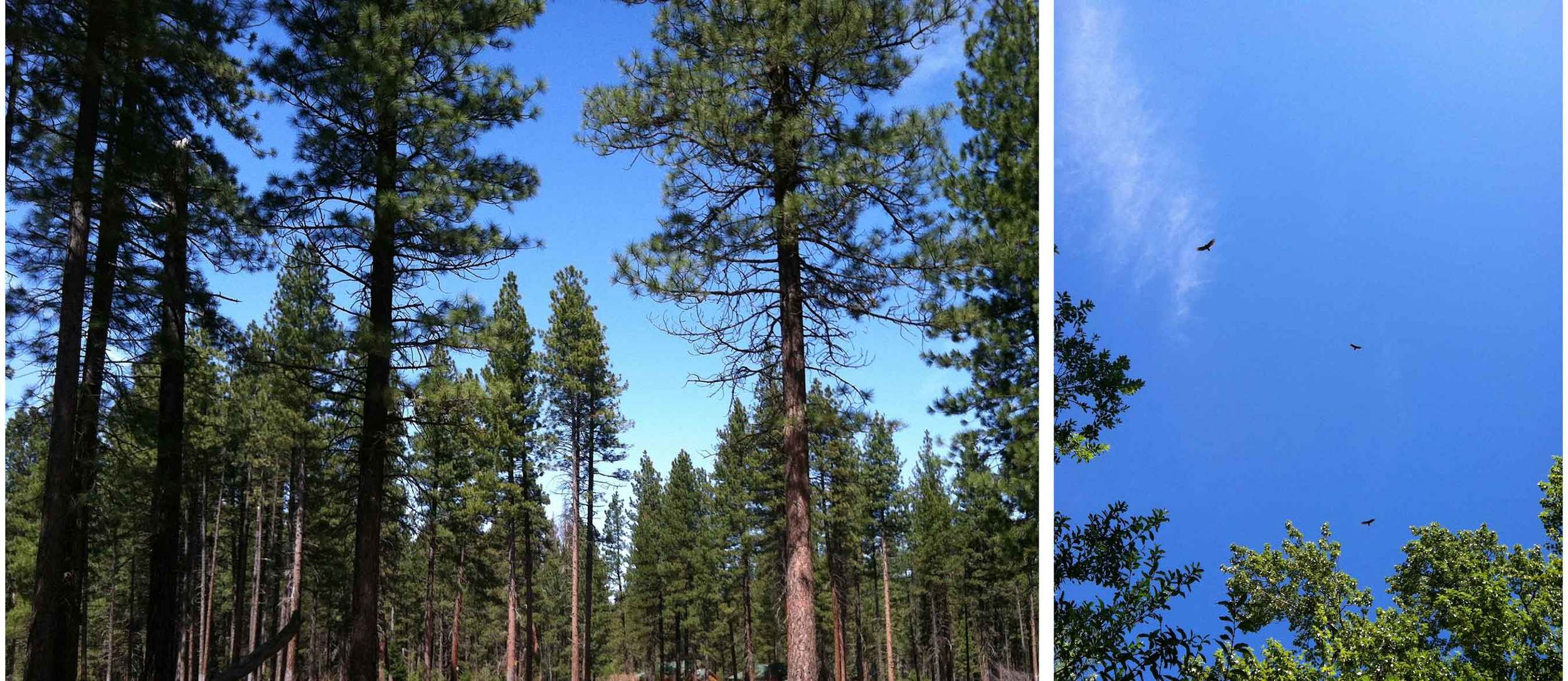 The woods of Central Oregon, Metolius River, hawks overhead, Thread & Whisk