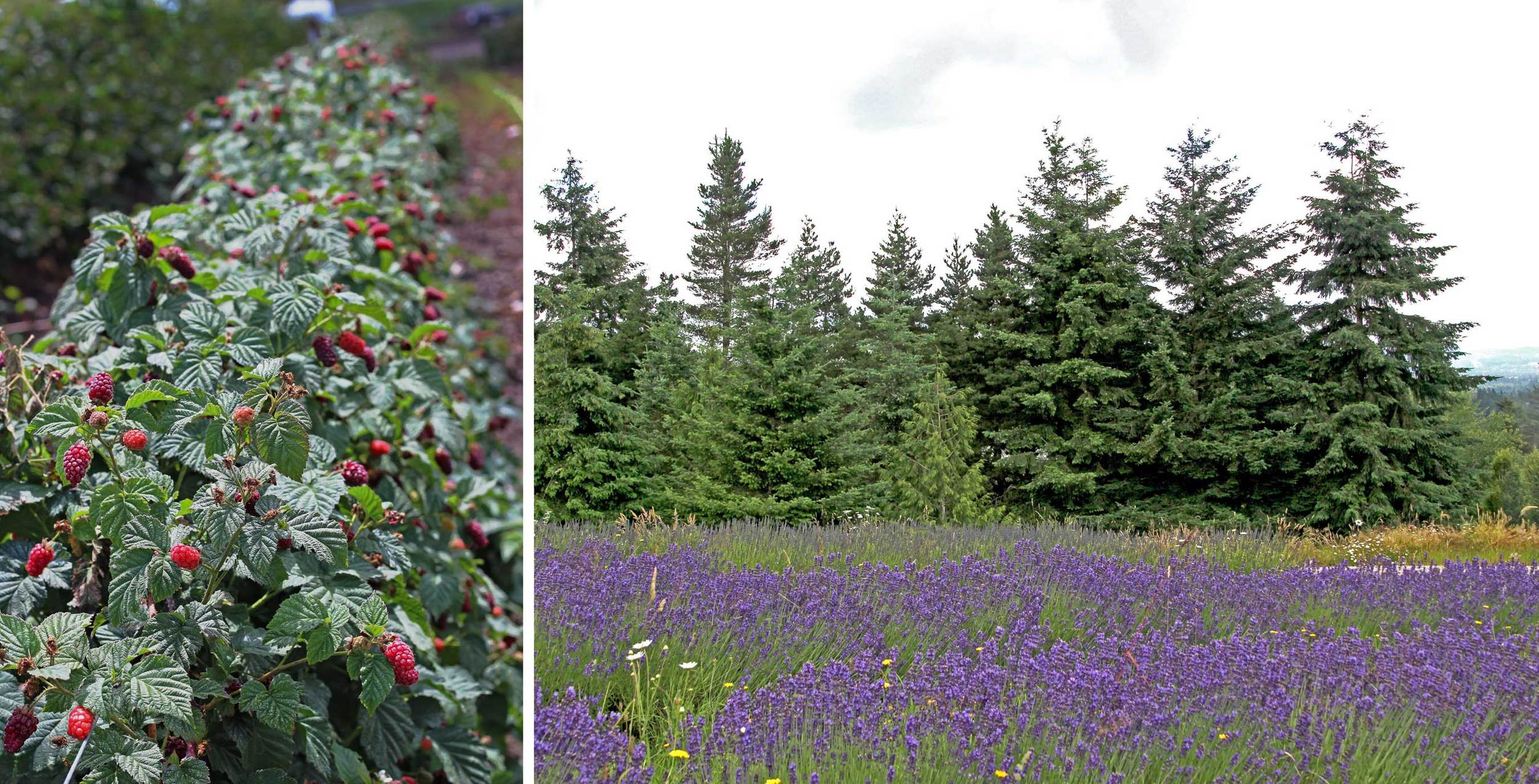 The beauty of Douglas fir, lavender fields and tayberries.  A beautiful part of the Oregon summer.  Find a recipe using these ingredients at Thread & Whisk blog.