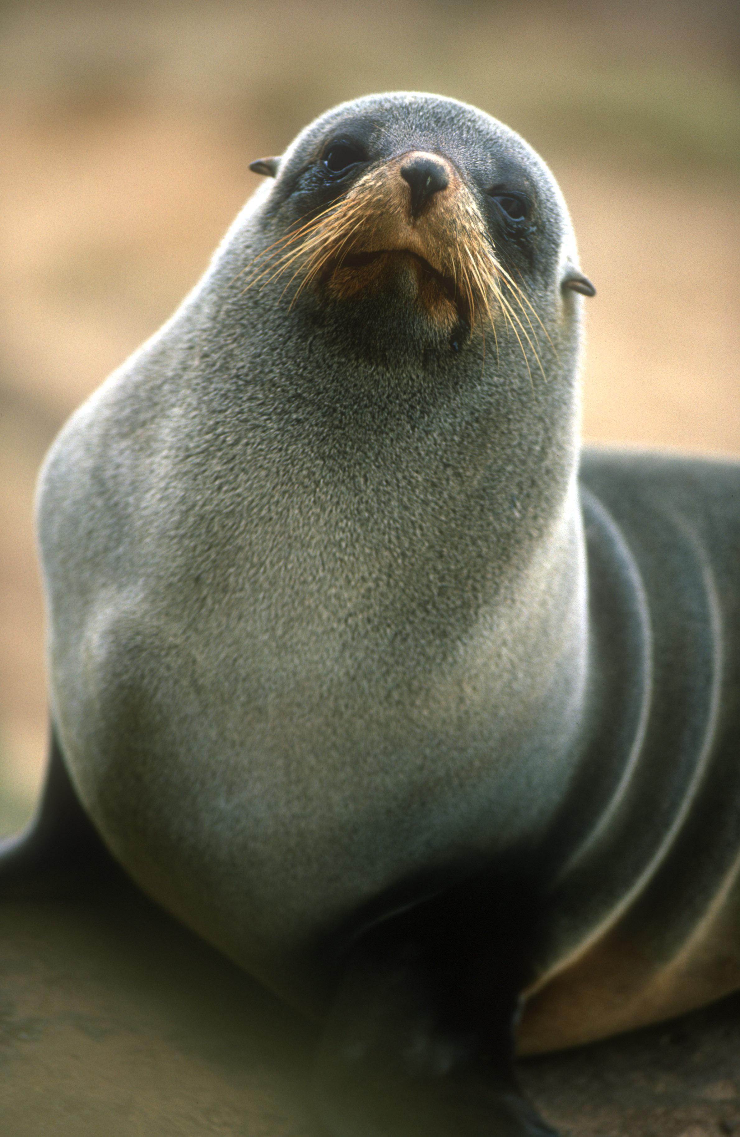 NZ Fur Seal 2.jpg