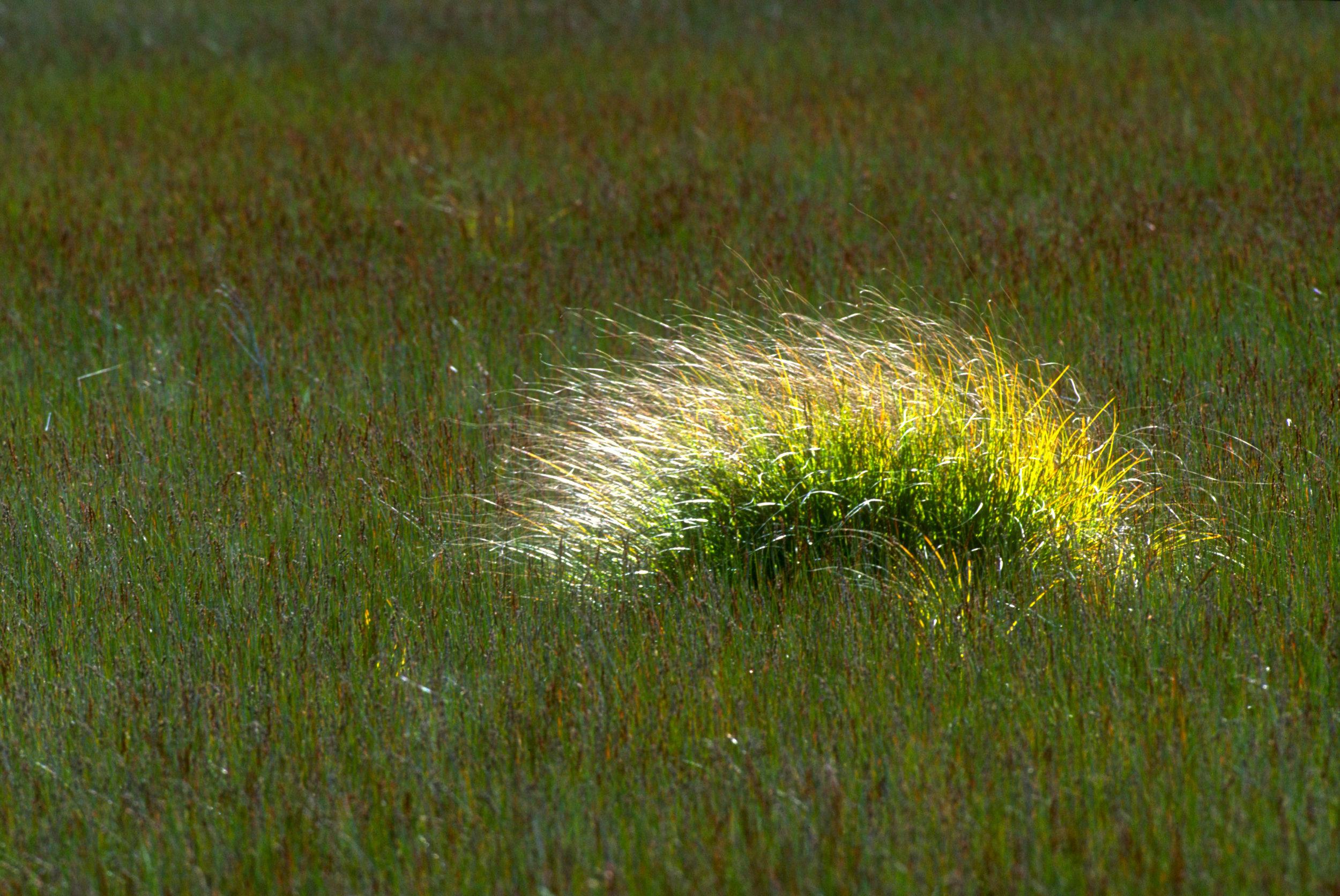 Tussock Grass 1.jpg