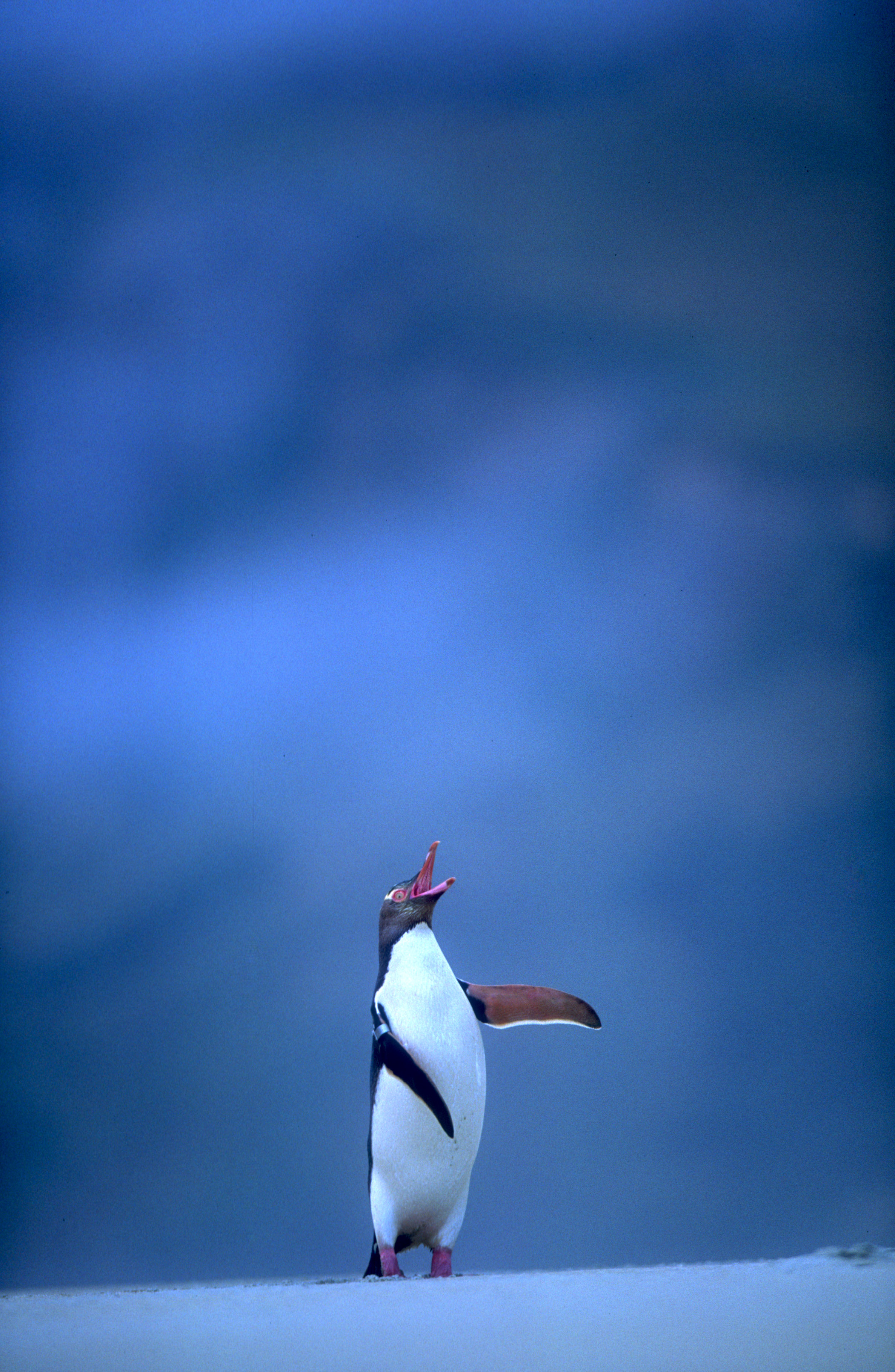 Yellow eyed penguin 11.jpg
