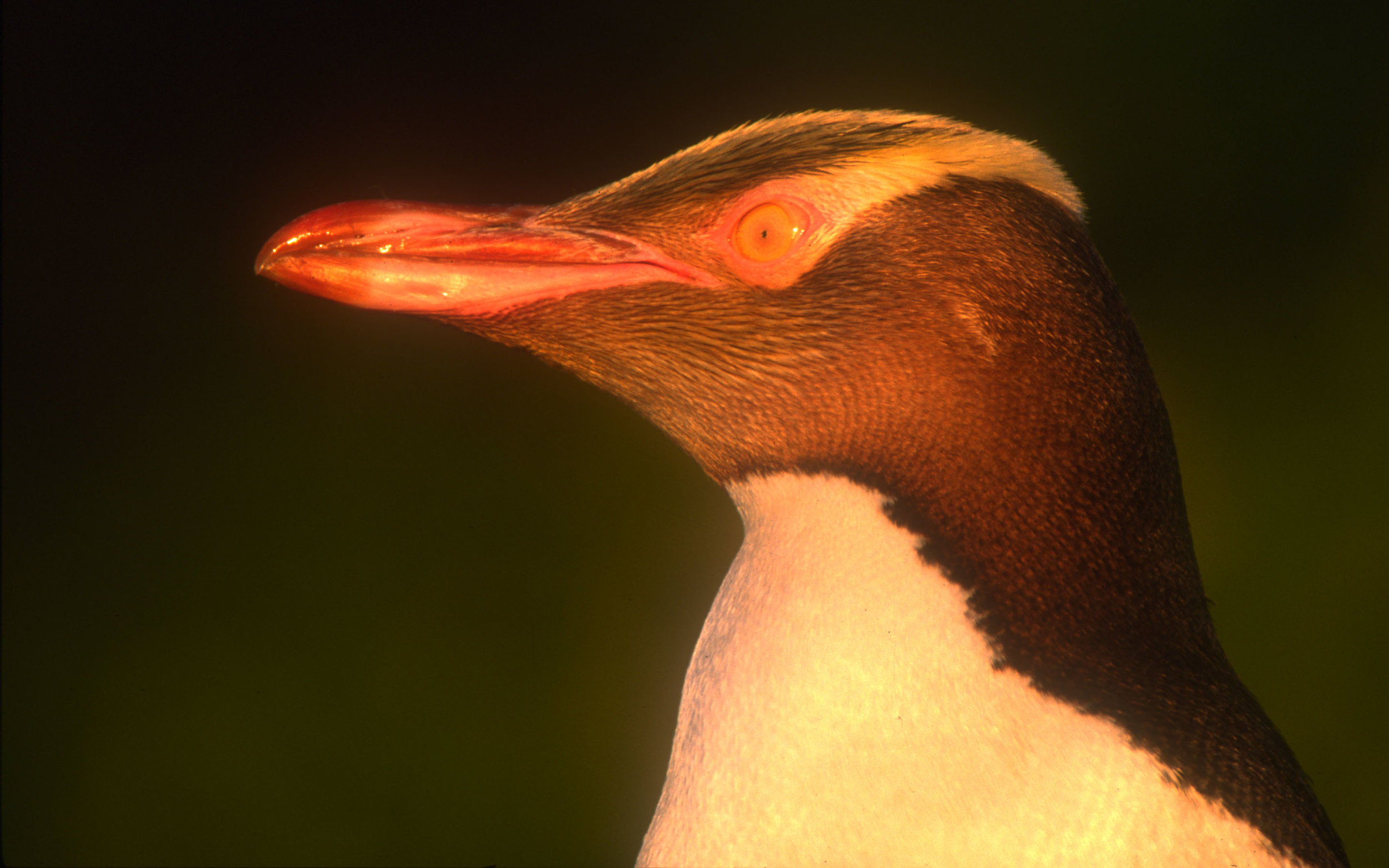 Yellow eyed penguin 8.jpg