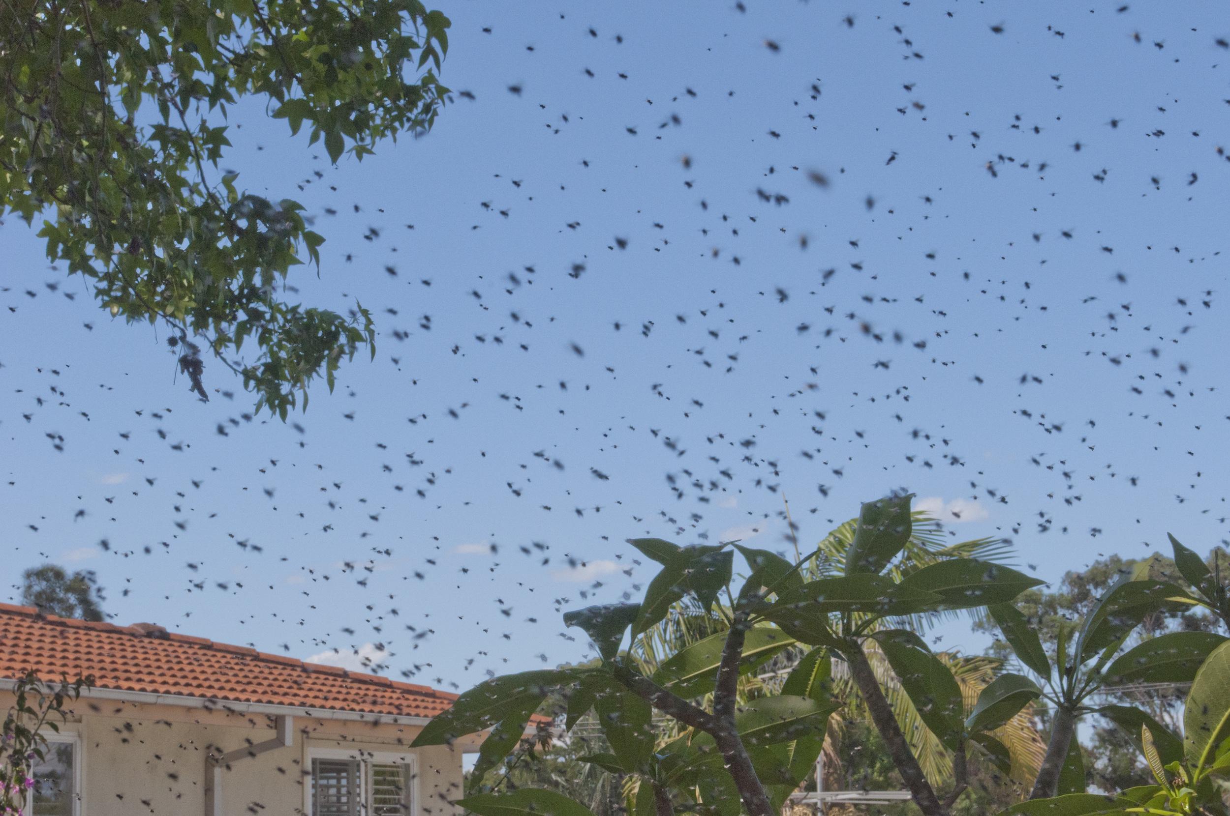swarm and neighbour hosue.jpg