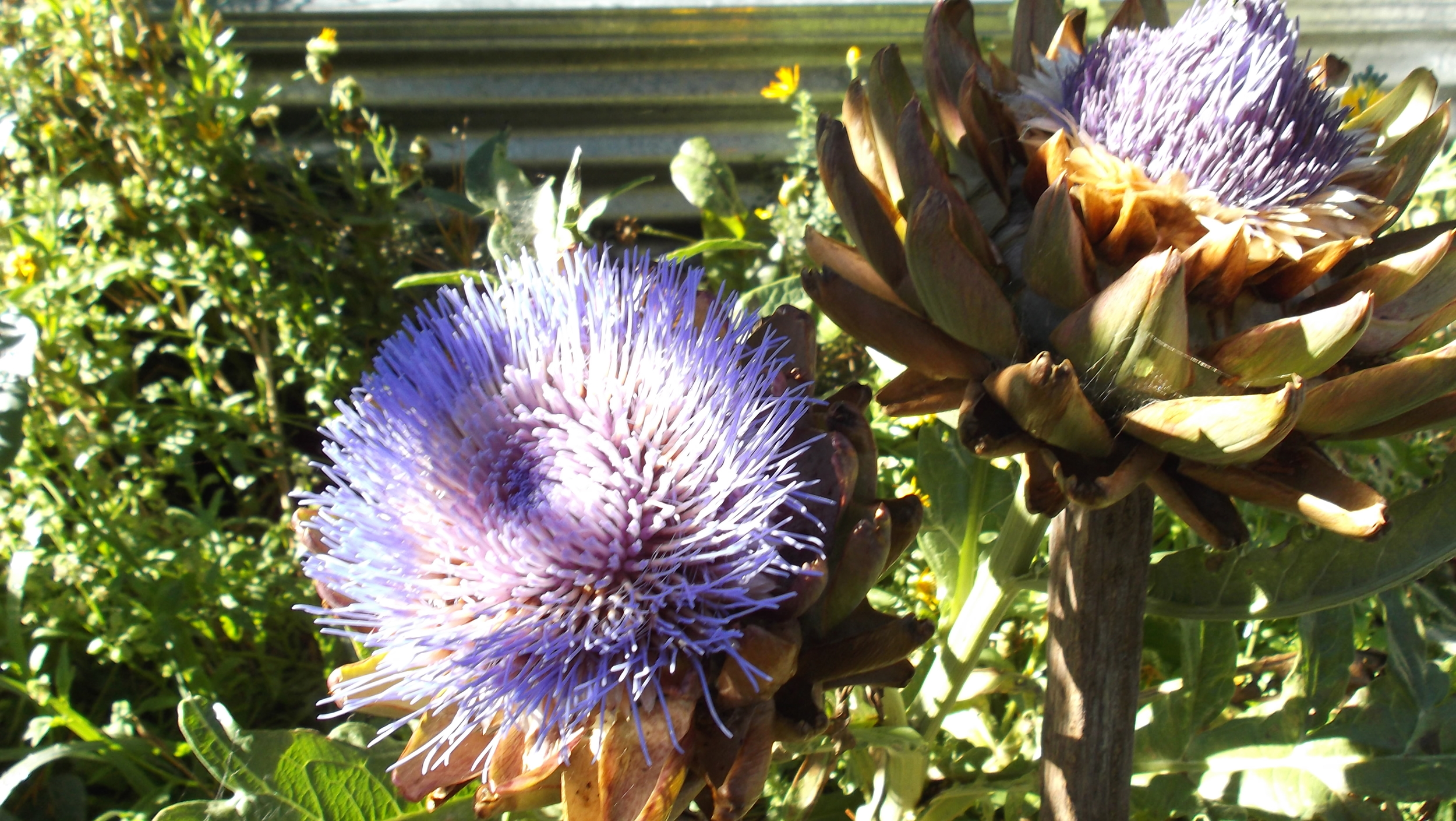 """Artichokes in the morning sun"" by The Grange Permaculture Garden"