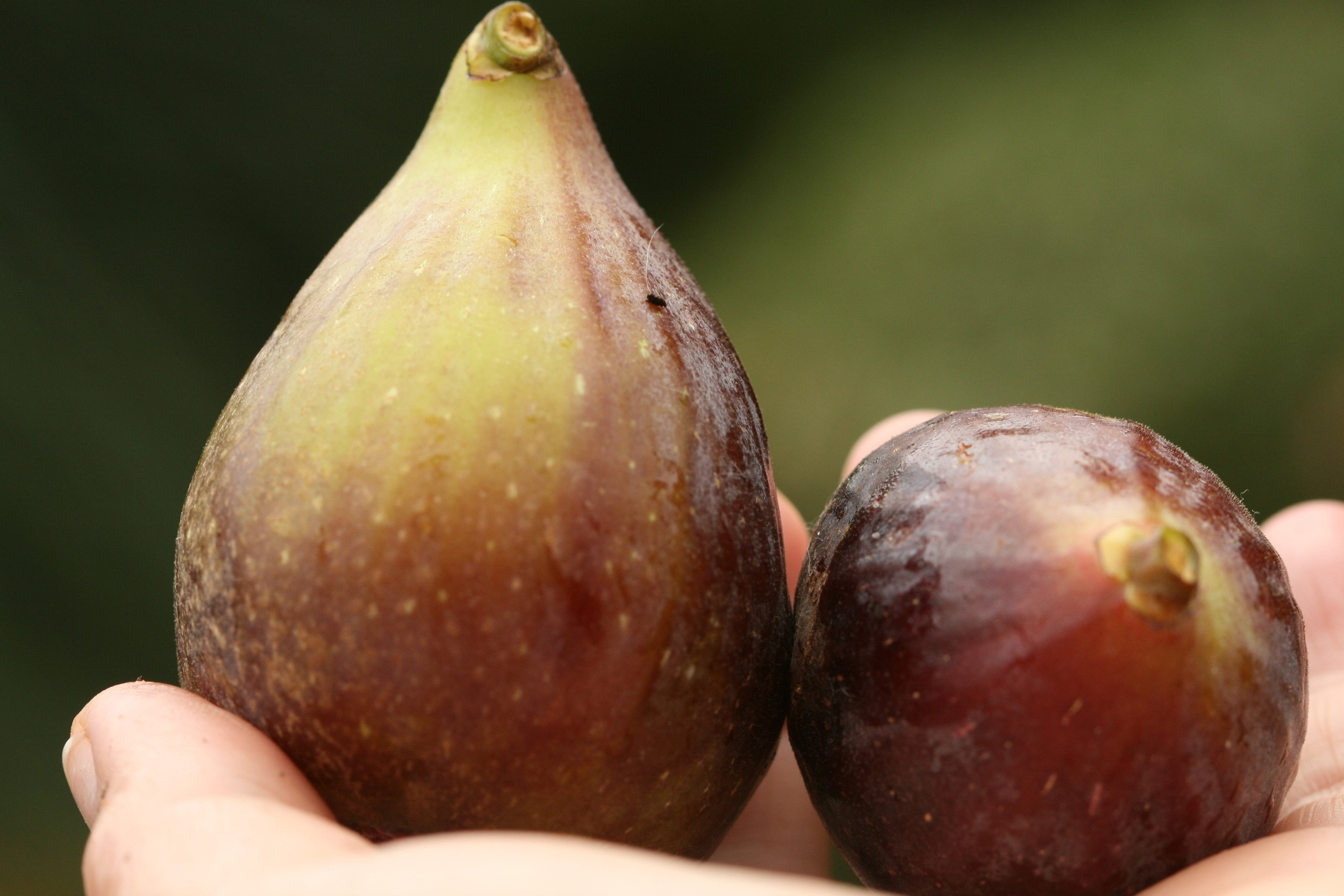 """Fresh, plump figs"" - Margaret Mossakowska"