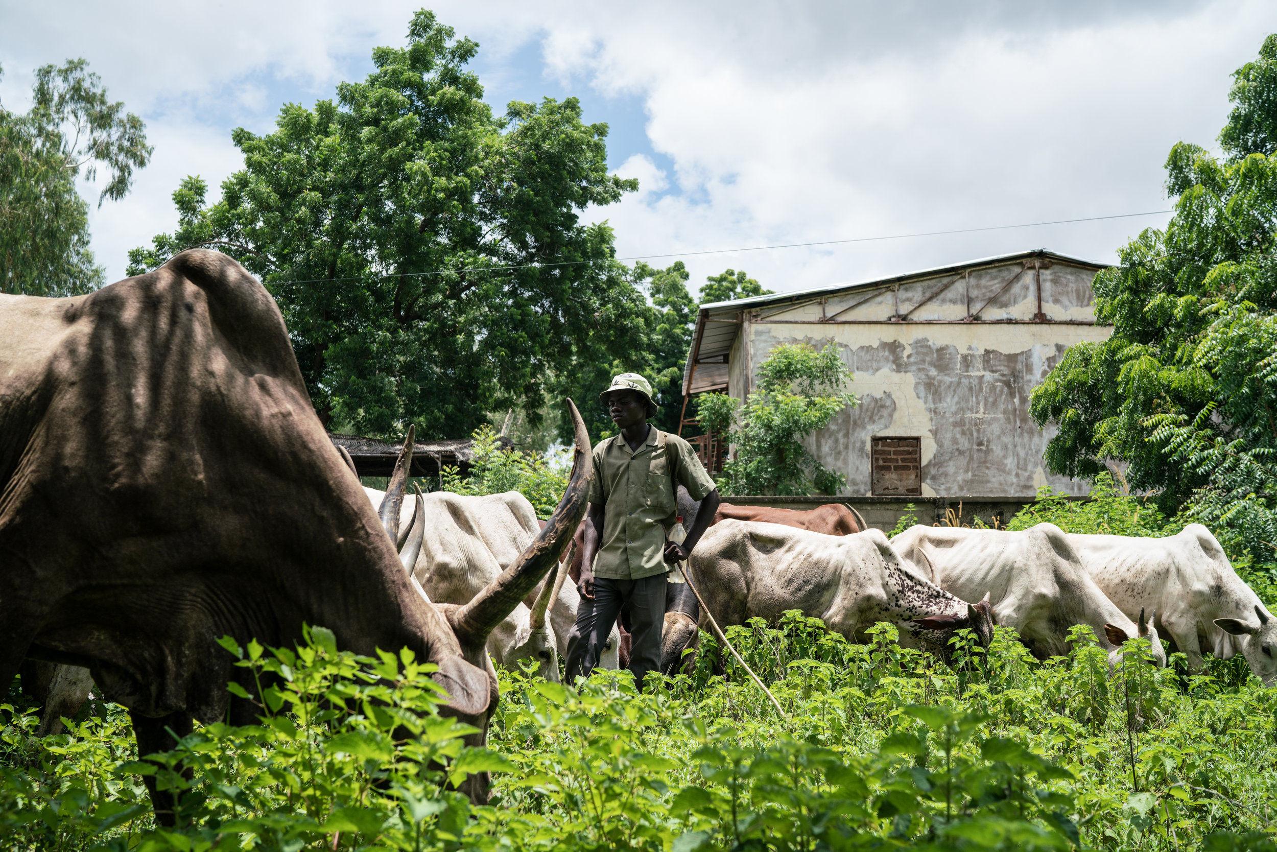 A young herder tends to his cattle as they graze through Garoua, Cameroon. Many herders and farmers have taken to giving tramadol to their livestock in order to help them work harder and walk longer in the country's intense heat.