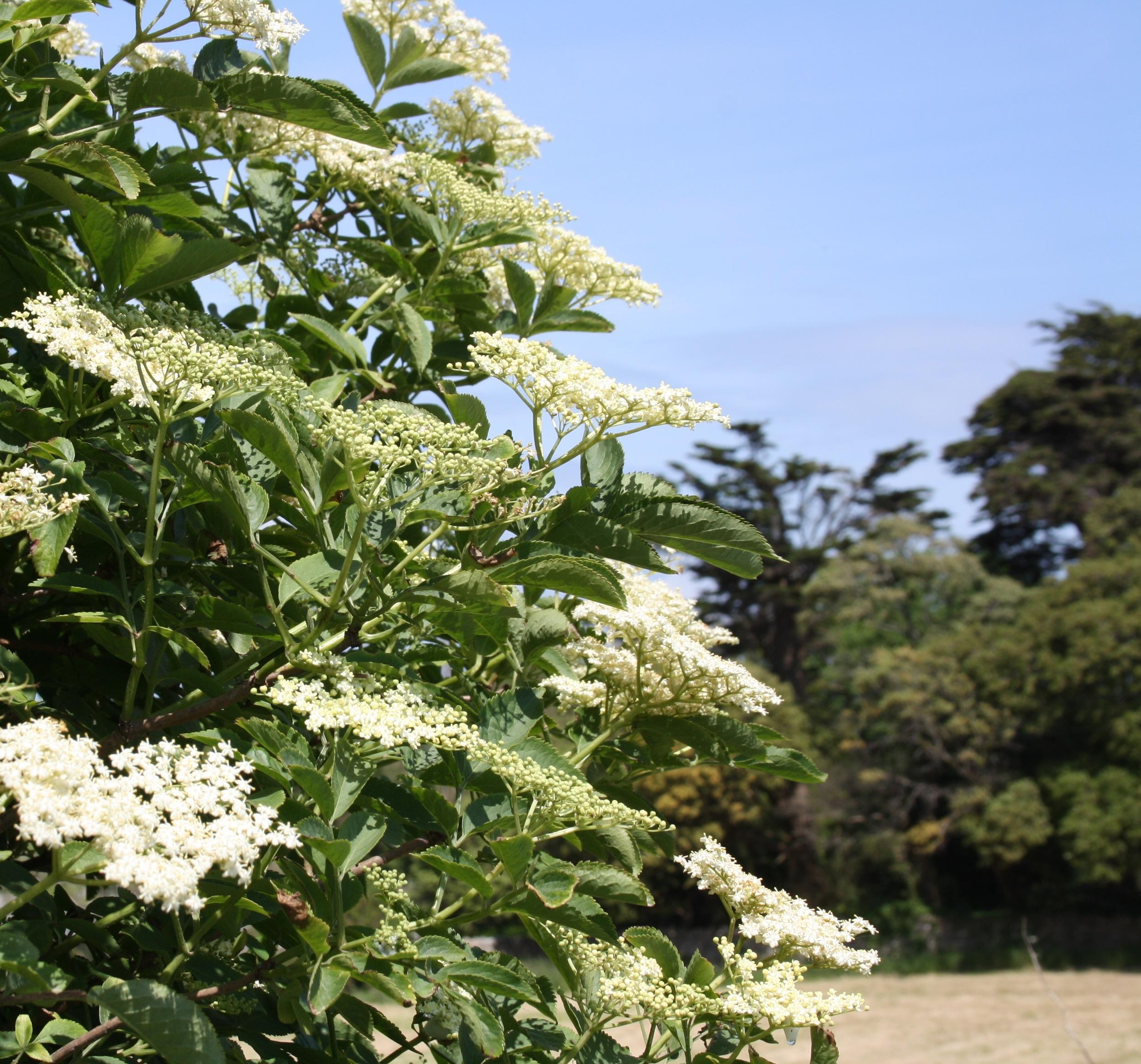 foraging for elderflower cordial