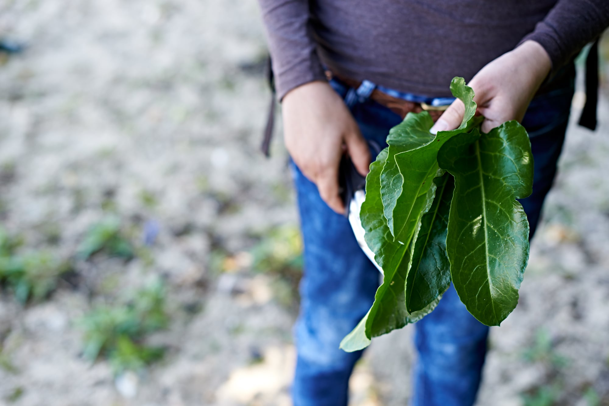 foraging for sea beet like a wild spinach