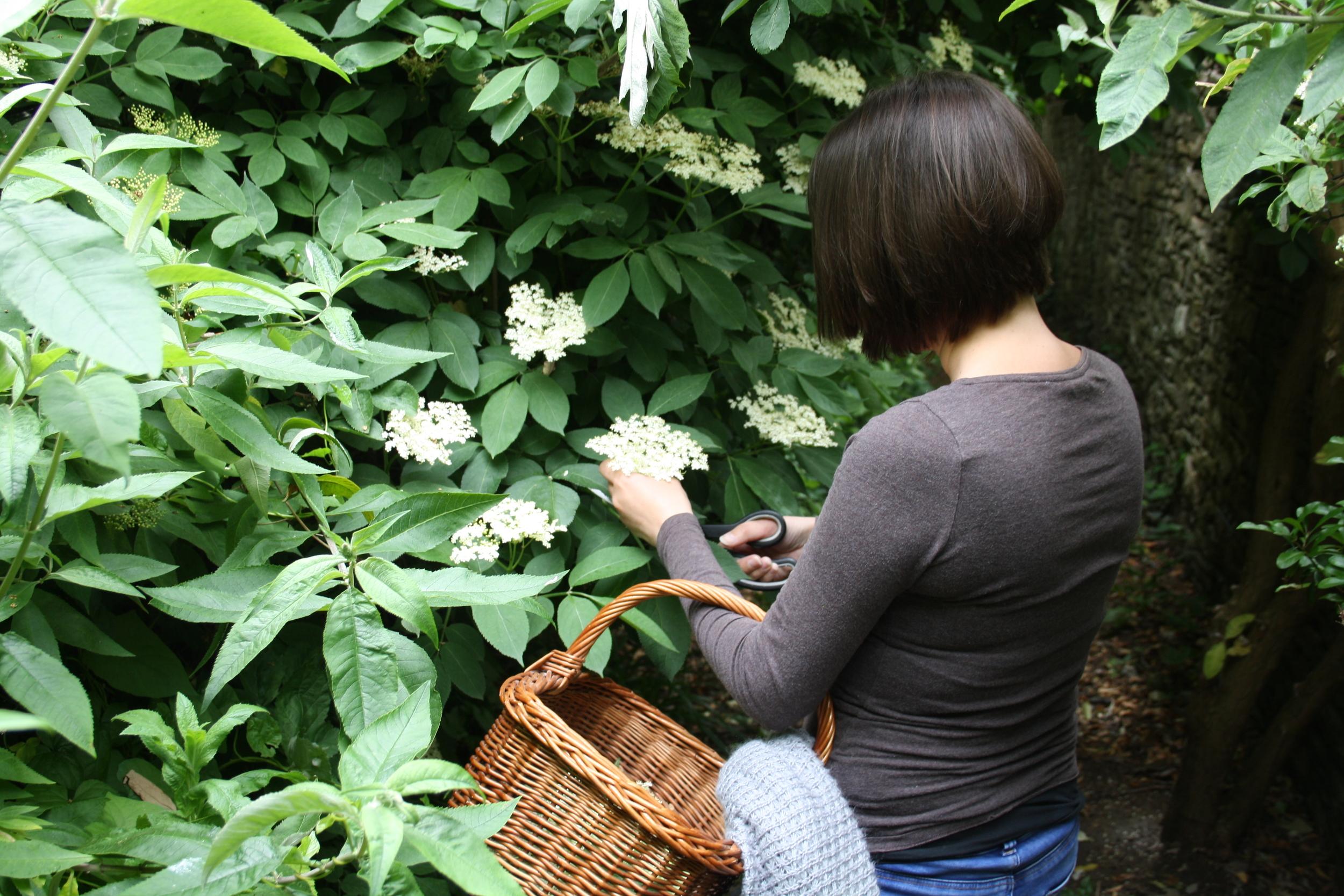 foraging for elderflower in dorset