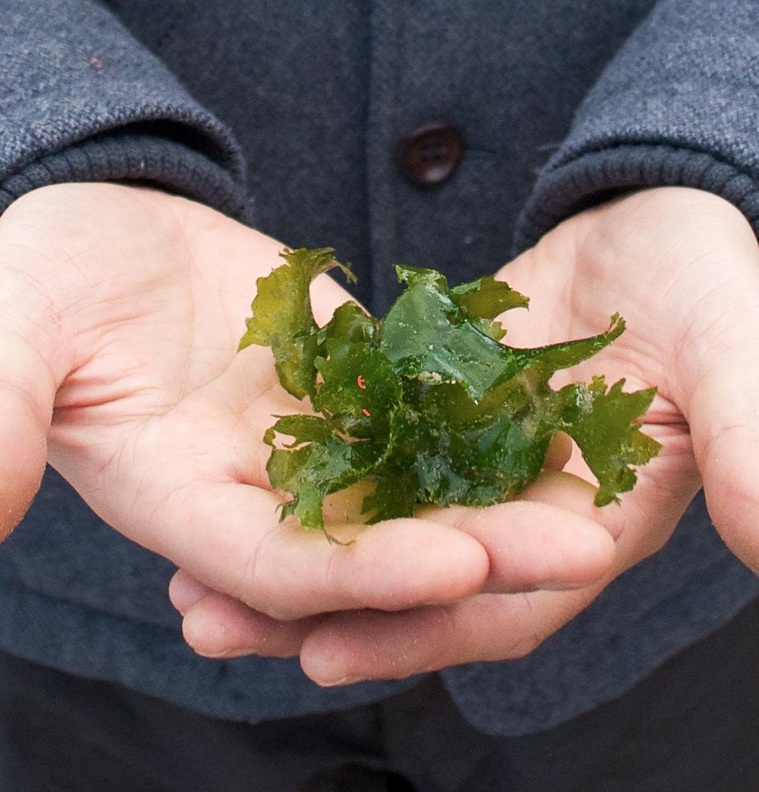 seaweed in hands.jpg