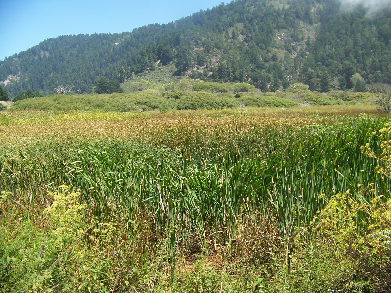 Tules in Brackish Water Marsh @ Rancho del Oso
