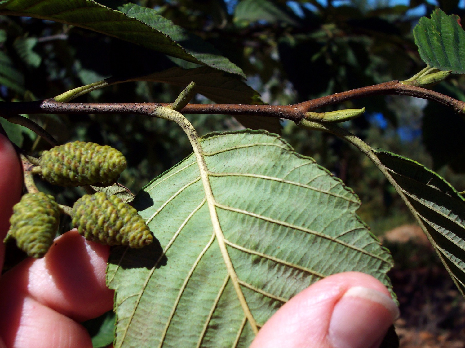 Red Alder: An identifying characteristic is the rolled-under margin of the leaf