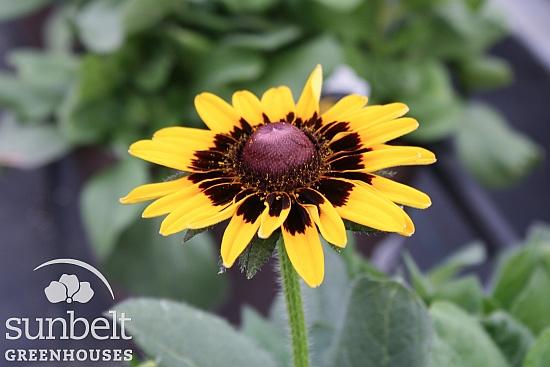 10half-rudbeckia-denver-daisy-closeup-opt.jpg