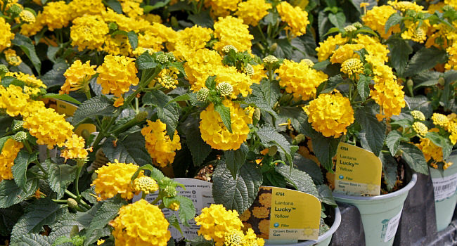 Lantana Lucky™ Yellow