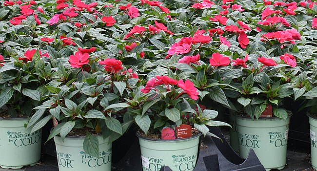 SunPatiens® Spreading Carmine Red