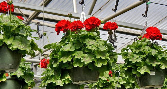Geranium Calliope™ Dark Red