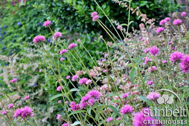 Gomphrena 'Fireworks' planted this spring in a landscape bed by our office.