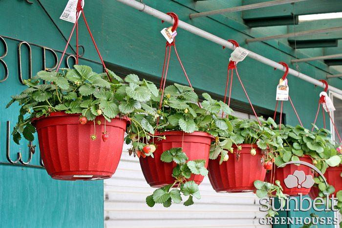 11in-hb-strawberry-busy-corner.jpg
