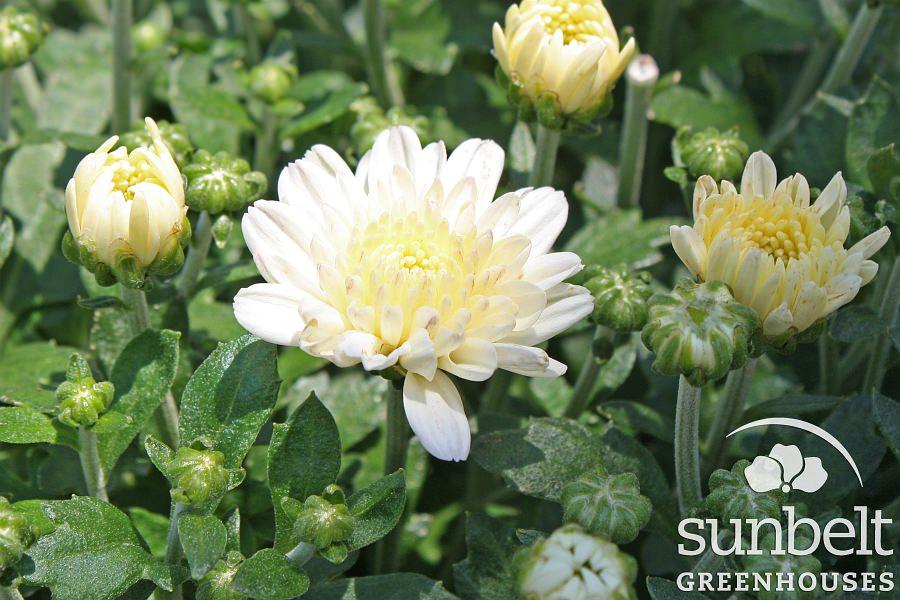 mum-daybreak-appleblossom-white-trial.jpg