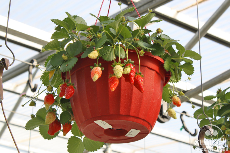 "10"" Strawberry Hanging Basket"