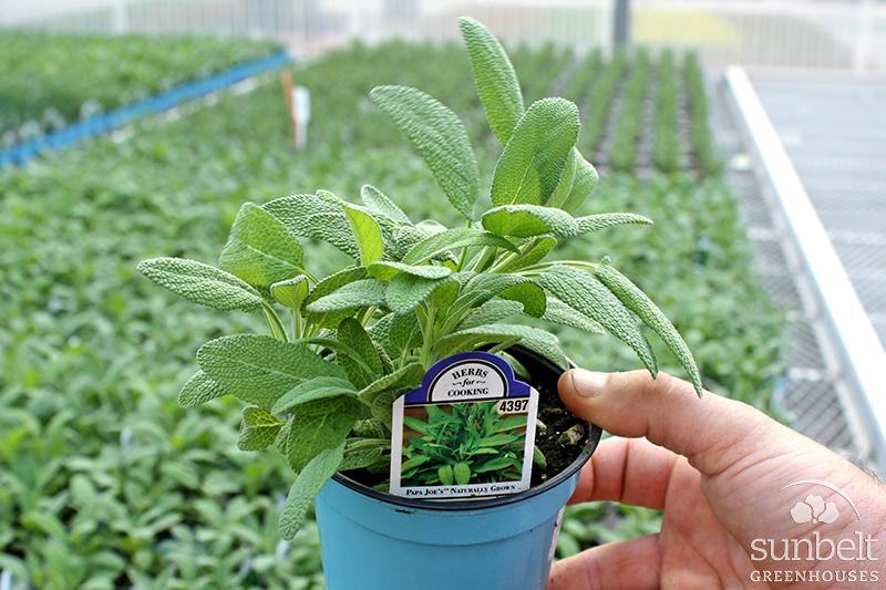 """4"""" Fall Herbs"""