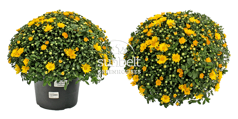 "9"" Michelle Yellow Mum, top and side views"