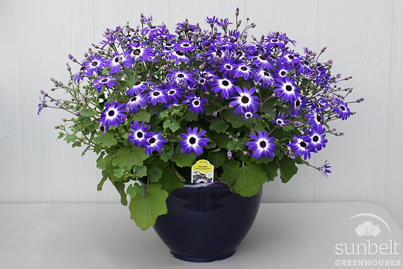 "12"" Pericallis Planter"