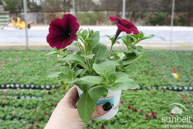 "4.3"" Ramblin'® Petunia"