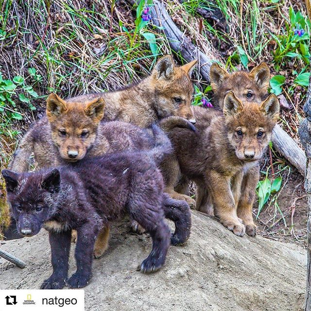 #images4change #Repost @natgeo ・・・ @paulnicklen for @natgeo.  Wolf pups exit their den to sniff the spring air in Canada's Yukon Territory.  There has been much pressure by gold mining companies to enter this fragile and pure Peel River ecosystem to extract its minerals causing much damage to the landscape and wildlife populations.  The recent decision to preserve it extends the tenuous protection of one of the last vast expanses of unbroken wilderness. #follow #me on @paulnicklen to learn more about wolves.  #protecthepeel #ilovenature #yukonterritory #yukon #naturelover #wolf #family