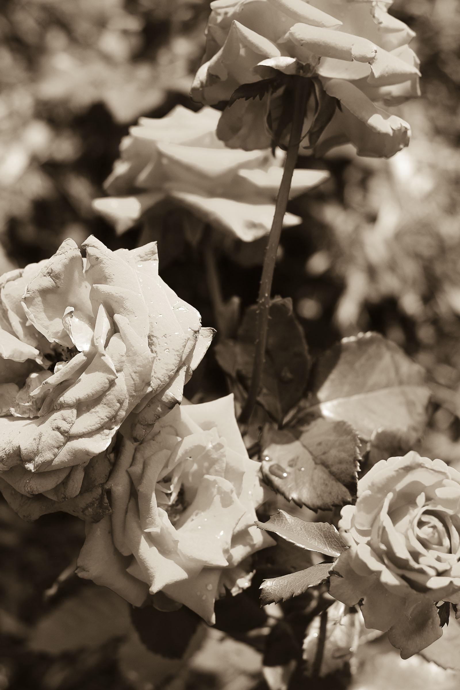 roses4.jpg