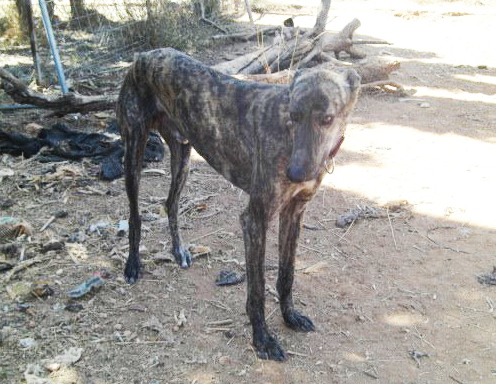 Dante >     Galgo Connection Spain > Greyhound Companions of New Mexico