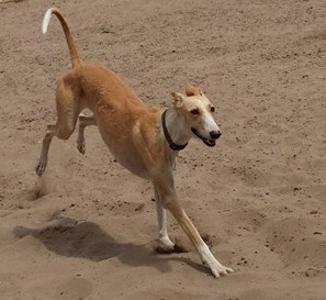 Oliva > Galgo Connection Spain > Grateful Greyhounds