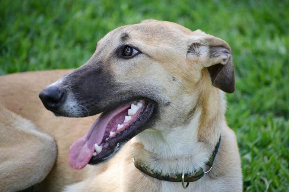 Carlito / Asociación Protectora Argos > Grateful Greyhounds