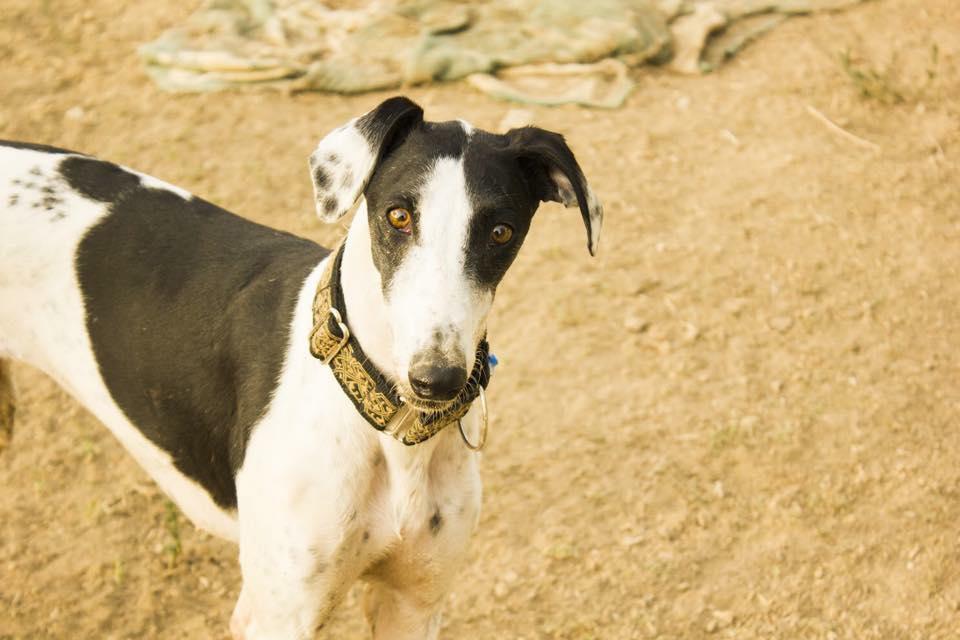 Alma / Galgos en Familia / Grateful Greyhounds
