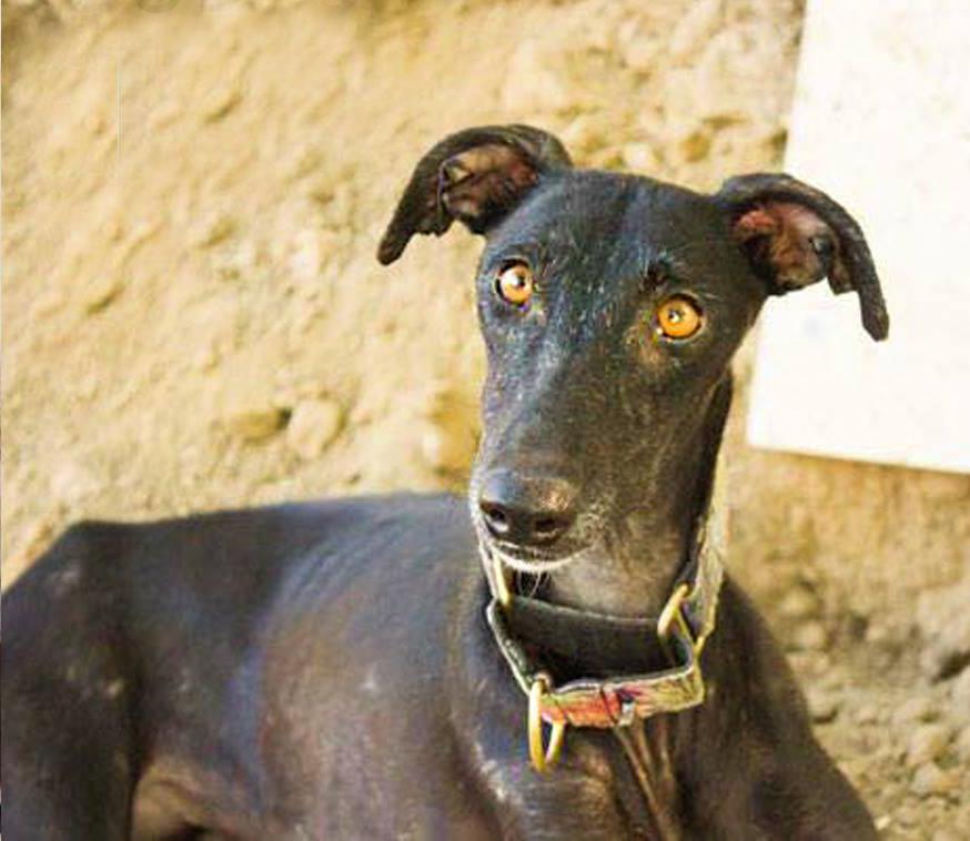 Dubia / Galgos del Sol > Greyhound Rescue Rehab