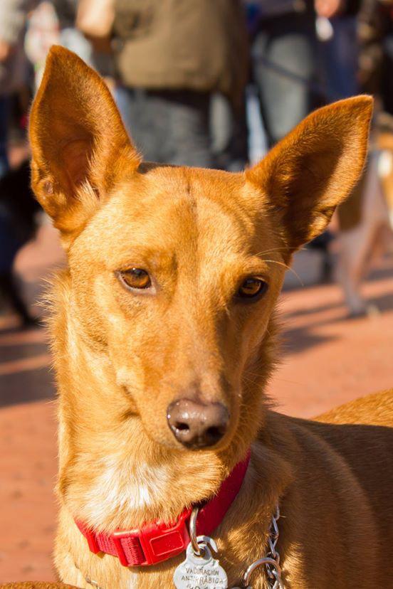 Gordo / Podencos Y Mas > Grateful Greyhounds