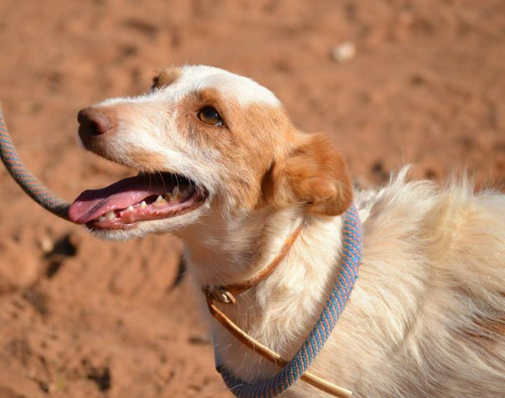 Chacal / Asociación Protectora Argos > Galgo Podenco Support & Grateful Greyhounds