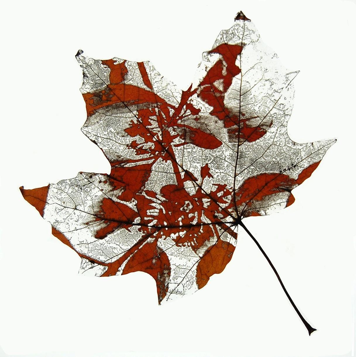 Maple_Minus_Buckthorn.jpg