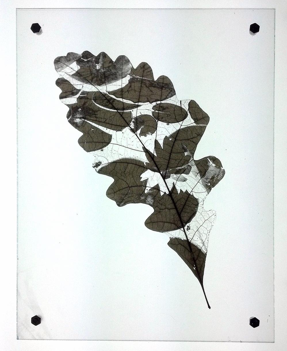 Oak_Minus_Lotus.jpg