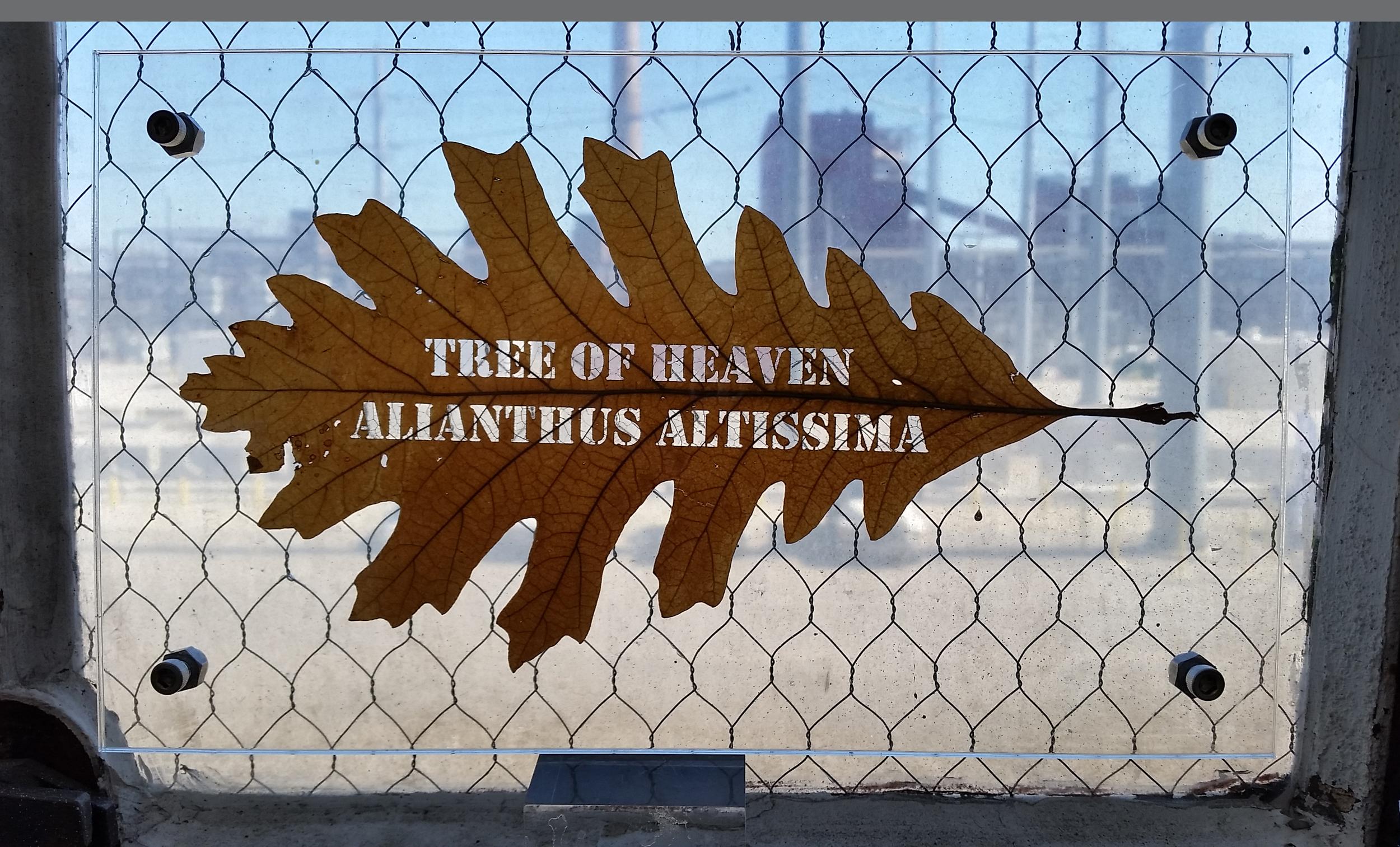 alianthus_altissima.jpg