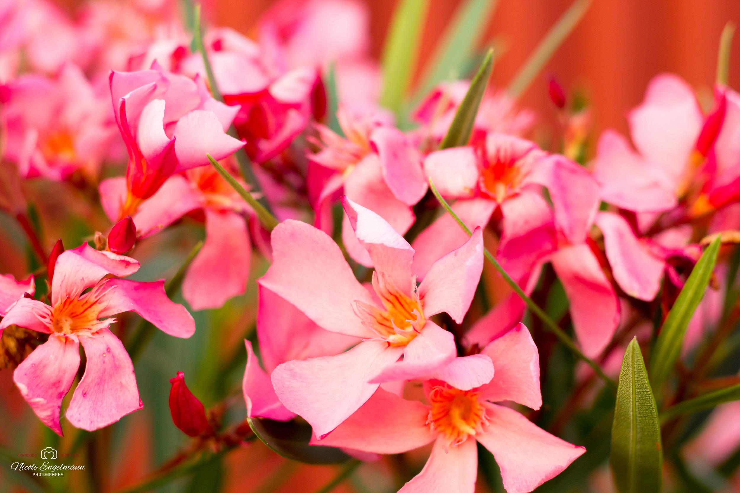 oleander-1.jpg