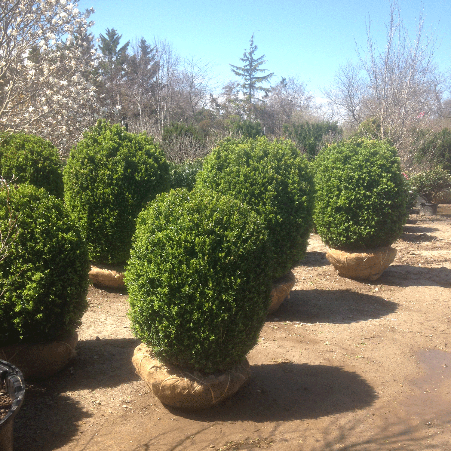 Eastcoast-american-boxwood-long-island-new-york-for-sale.png