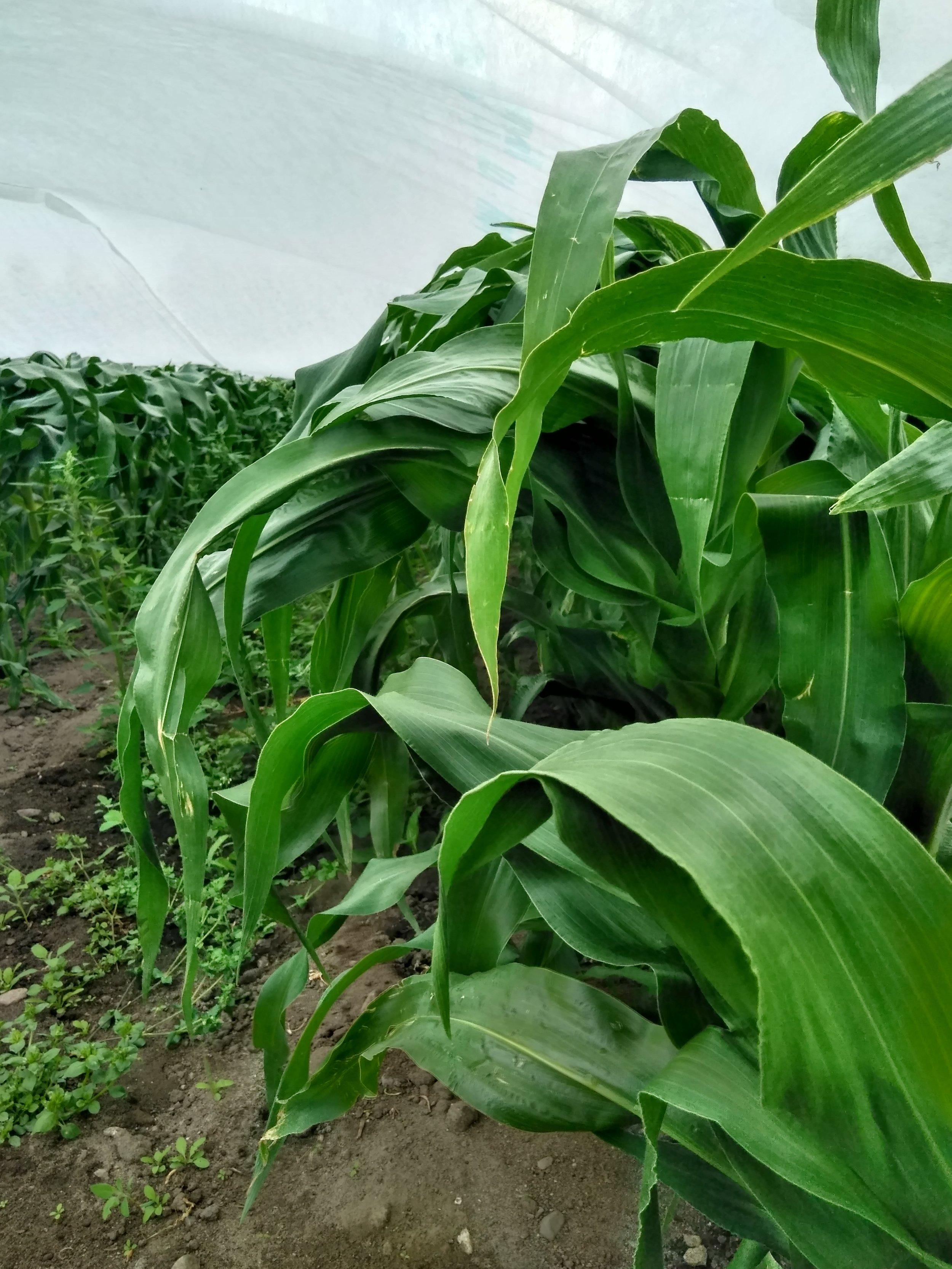 Maisplantene strekker seg masse i juli