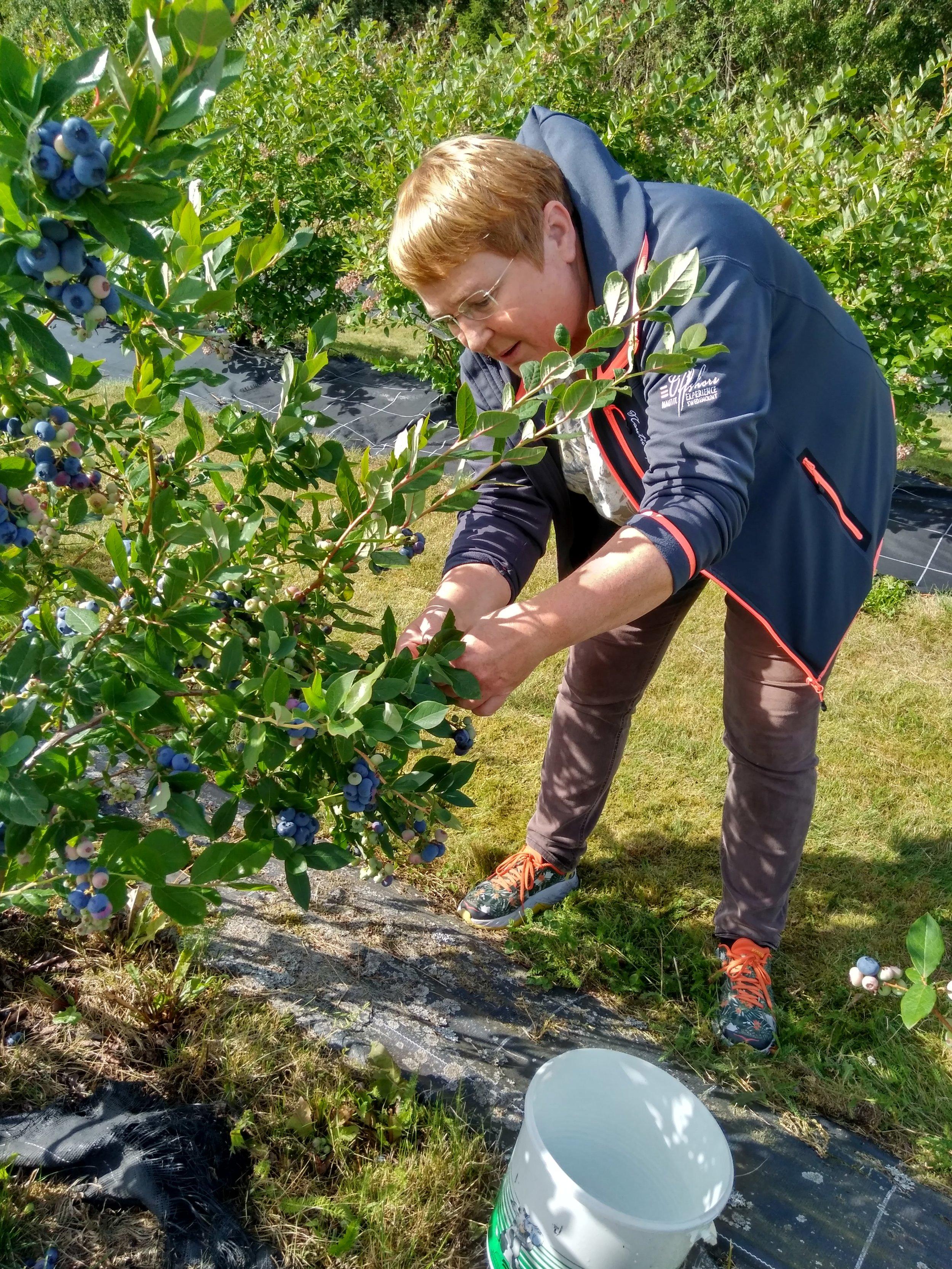 I Hageblåbærfeltet henger mange blå delikatessebær klare