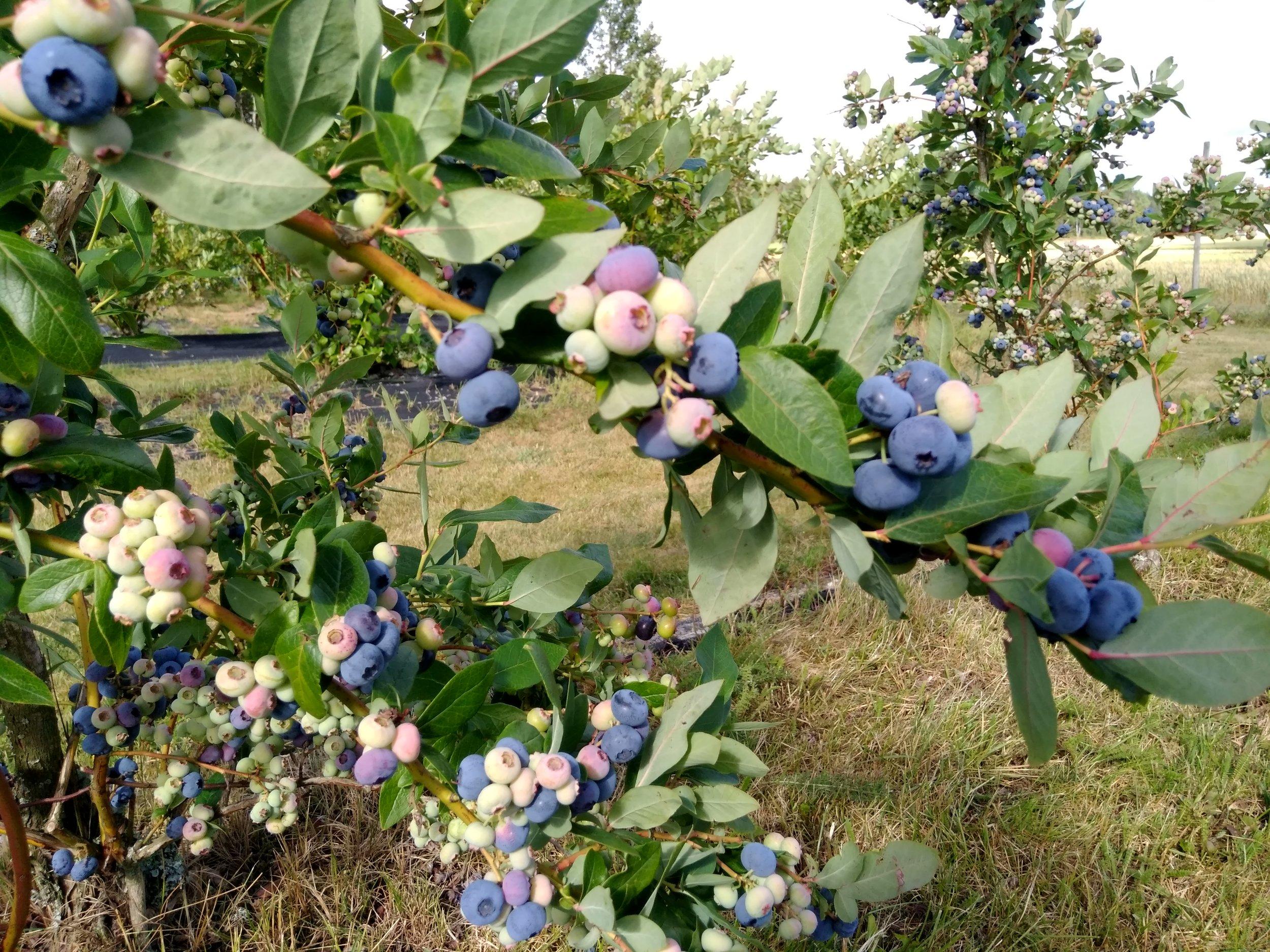 Hageblåbær, sunt og godt