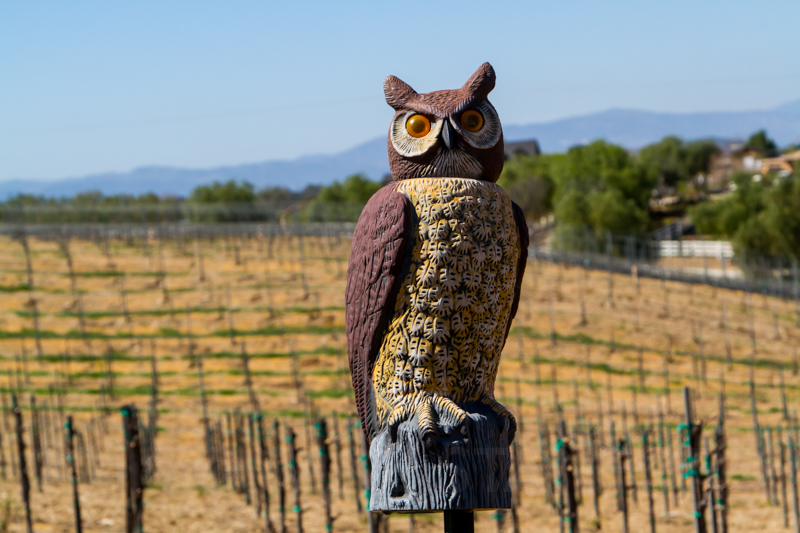Artisanal vineyard managers use every natural means at their disposal to deter pests: everything from plastic owls to owl-houses, from which owls hunt by night and red-winged hawks hunt by day.